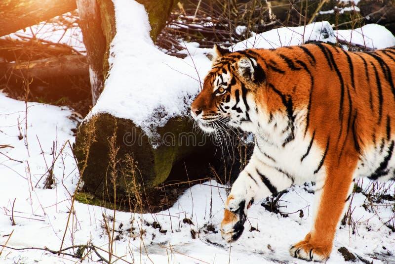 Tigre bonito de Amur na neve Tigre no inverno Cena dos animais selvagens com animal do perigo fotos de stock royalty free