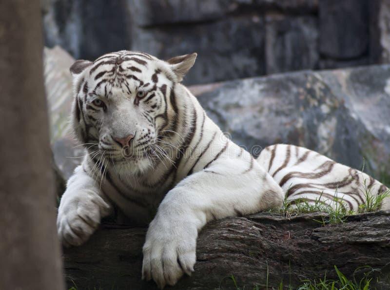 Download Tigre branco foto de stock. Imagem de animal, selvagem - 26512086
