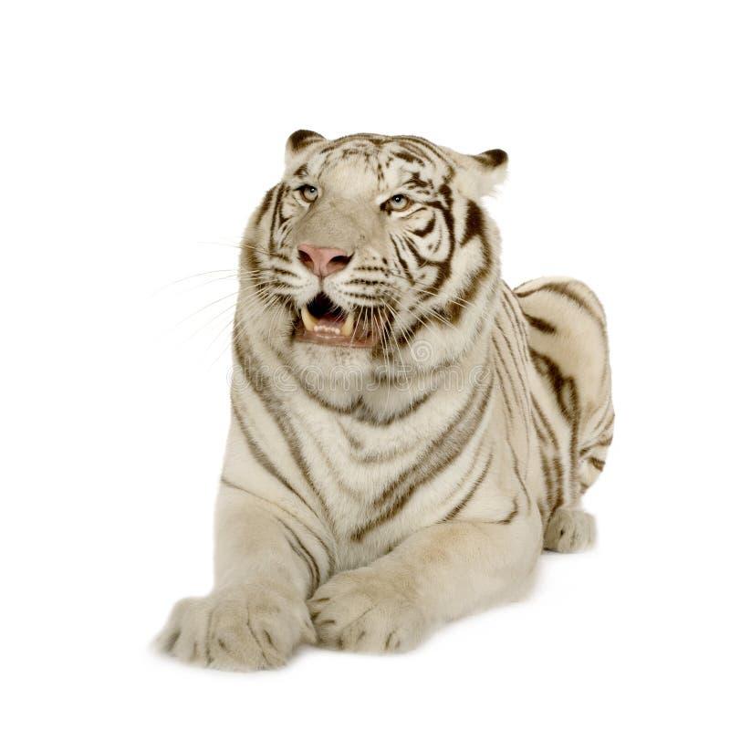 Tigre branco (3 anos) imagens de stock
