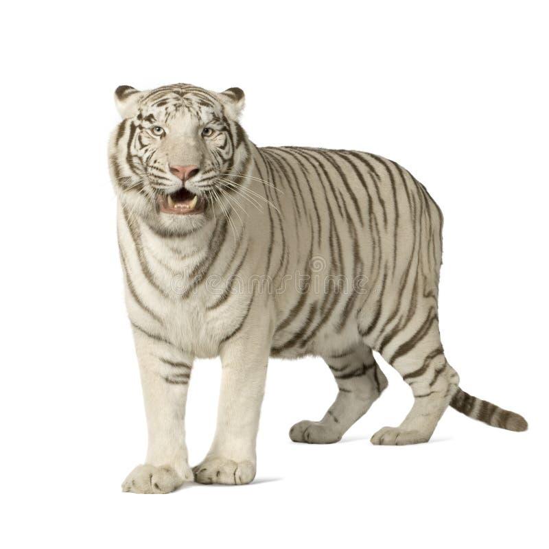 Tigre branco (3 anos) fotografia de stock