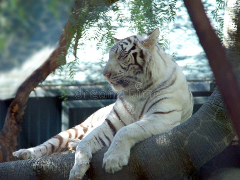 Tigre Branco 5 Imagens de Stock Royalty Free