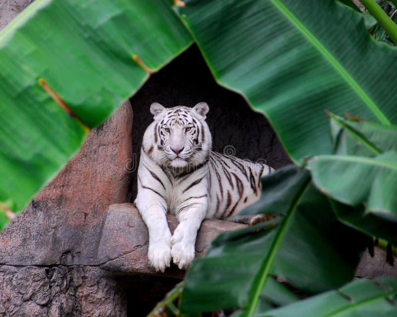 Tigre branco bonito fotografia de stock