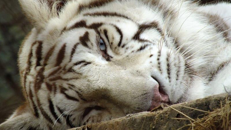 Tigre branco despertado fotos de stock