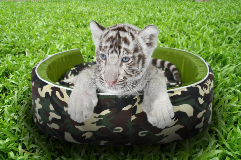 Tigre branco do bebê que coloca em um colchão imagens de stock