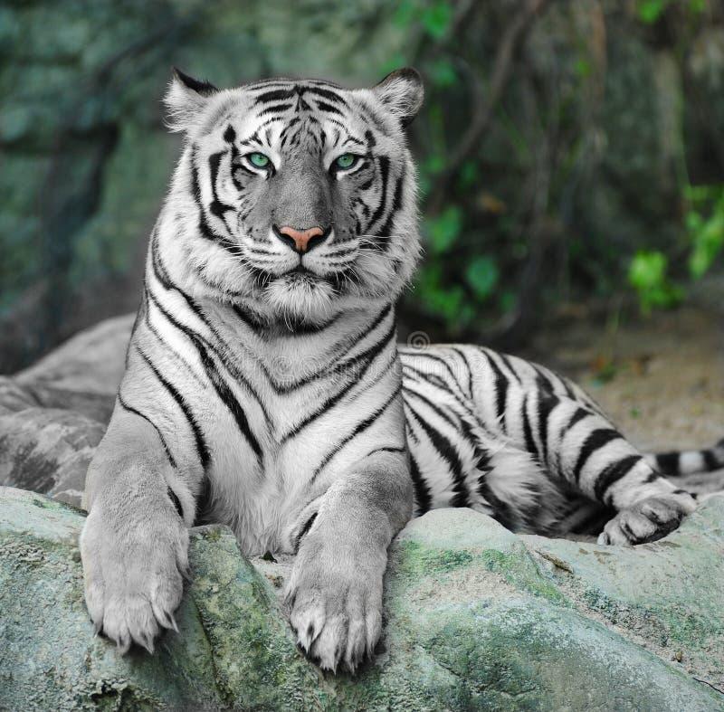 TIGRE BRANCO em uma rocha no jardim zoológico imagem de stock royalty free