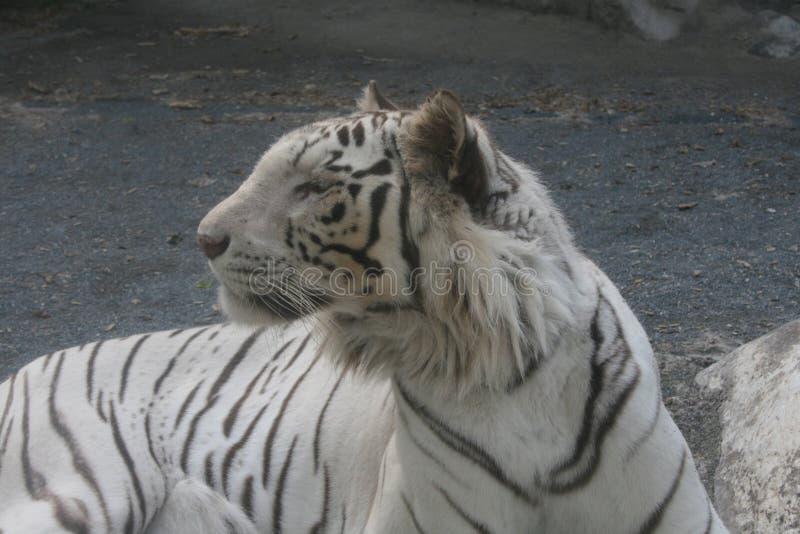 Tigre branco, Ibaraki, Japão fotografia de stock royalty free