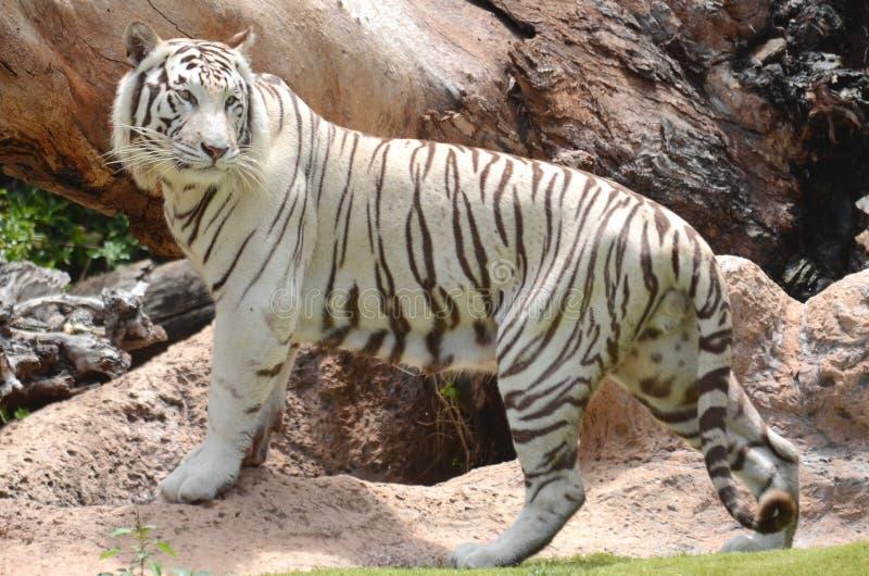 Tigre branco no parque de Loro em Puerto de la Cruz em Tenerife, Ilhas Canárias fotos de stock royalty free