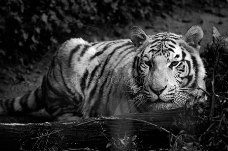 Tigre branco pelo registro imagens de stock