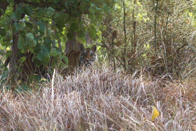 Tigre caché derrière la haute prairie dans les jungles indiennes images stock