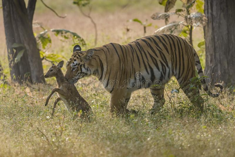 Tigre chassant le faon repéré de cerfs communs photographie stock