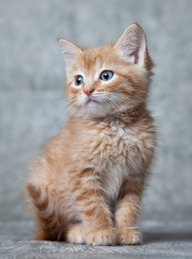 Tigre-chaton de gingembre photographie stock