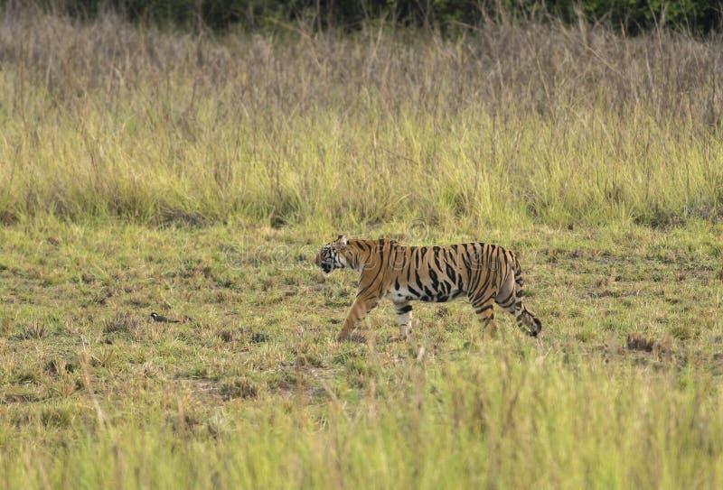 Tigre che cammina nel pascolo nell'uguagliare le ore fotografia stock