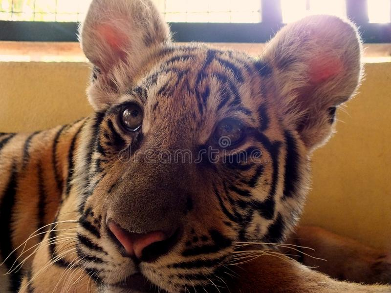 Tigre che cerca un pasto immagine stock
