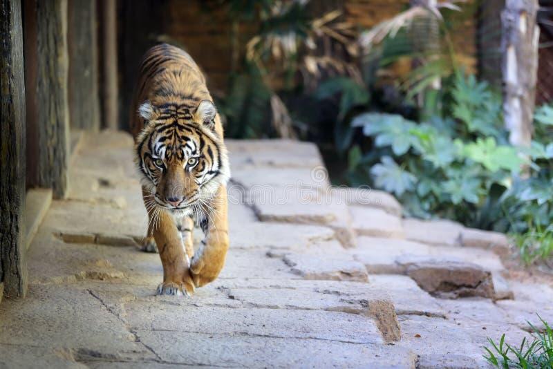 Tigre che crusing fotografie stock