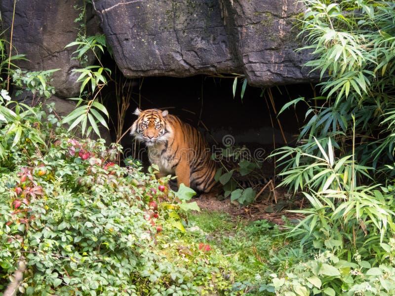 Tigre che esce da una caverna fotografie stock