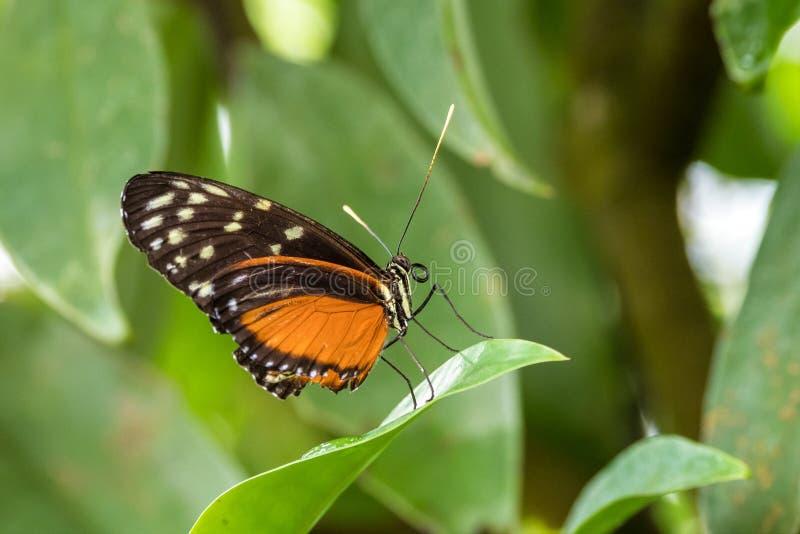 Tigre che longwing - hecale di Heliconius, bella farfalla arancio immagine stock libera da diritti