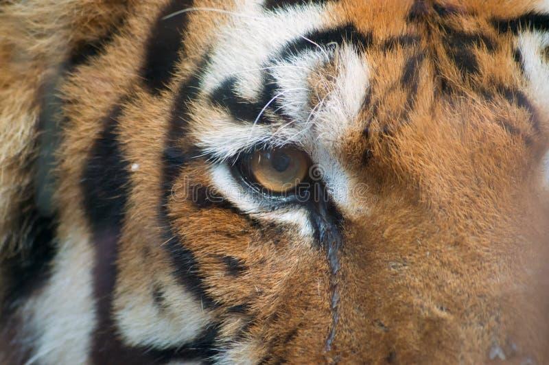 Tigre che posa dietro un vetro fotografia stock
