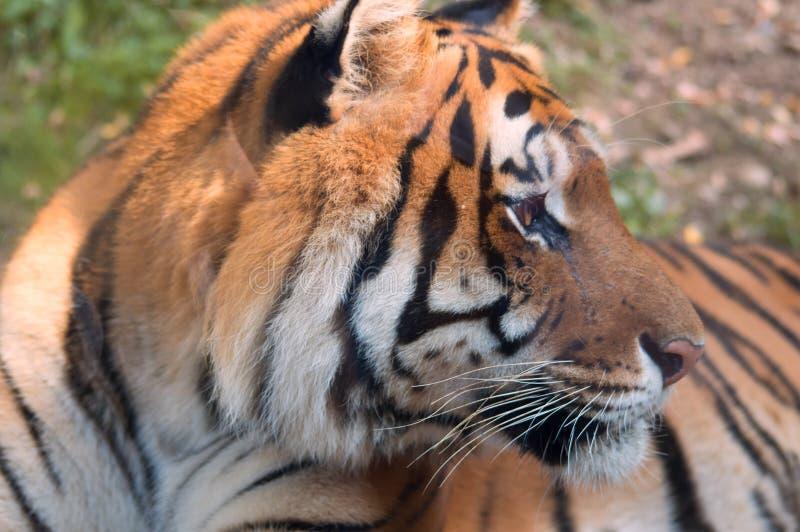 Tigre che posa dietro un vetro fotografia stock libera da diritti