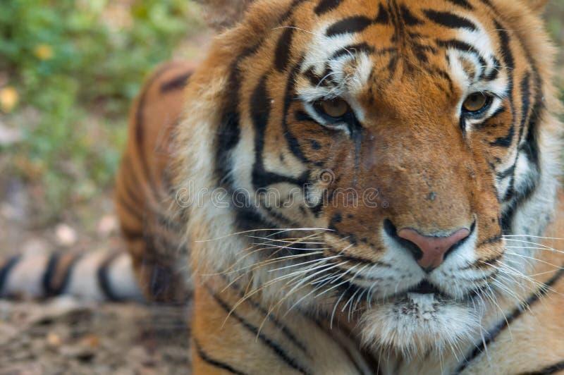 Tigre che posa dietro un vetro fotografie stock libere da diritti