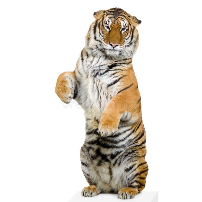 Tigre che si leva in piedi in su fotografie stock