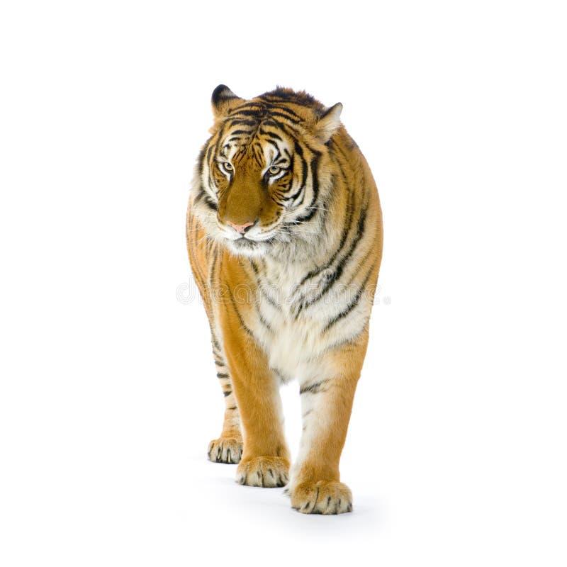 Tigre che si leva in piedi in su immagine stock libera da diritti