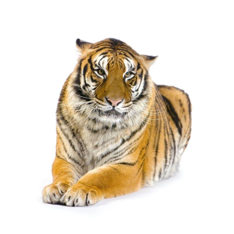 Tigre che si trova giù fotografie stock