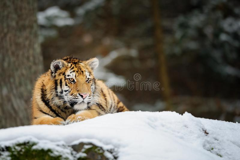 Tigre che si trova sulla neve fotografie stock libere da diritti