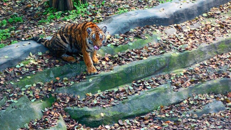 Tigre chinois image libre de droits