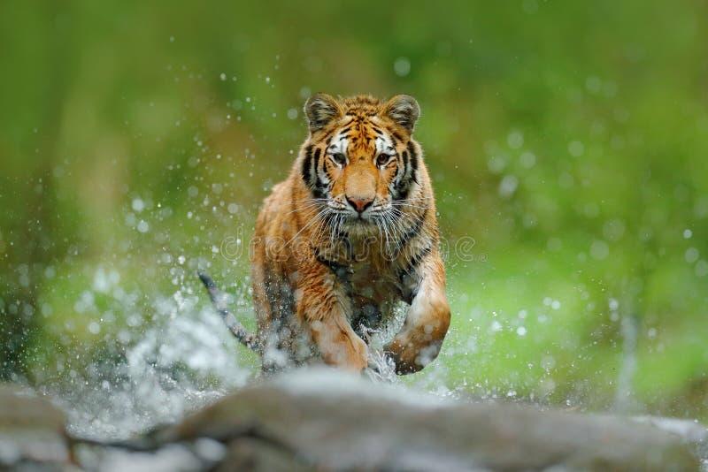 Tigre com água do rio do respingo Cena dos animais selvagens da ação com o gato selvagem no habitat da natureza Tigre que corre n foto de stock