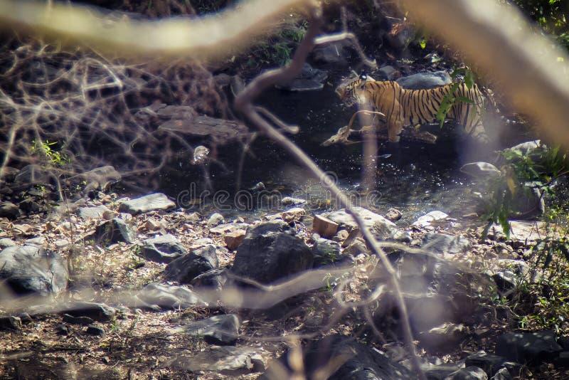 Tigre con su presa imagen de archivo
