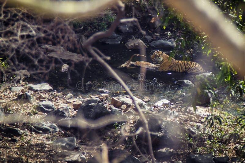 Tigre con su presa foto de archivo libre de regalías