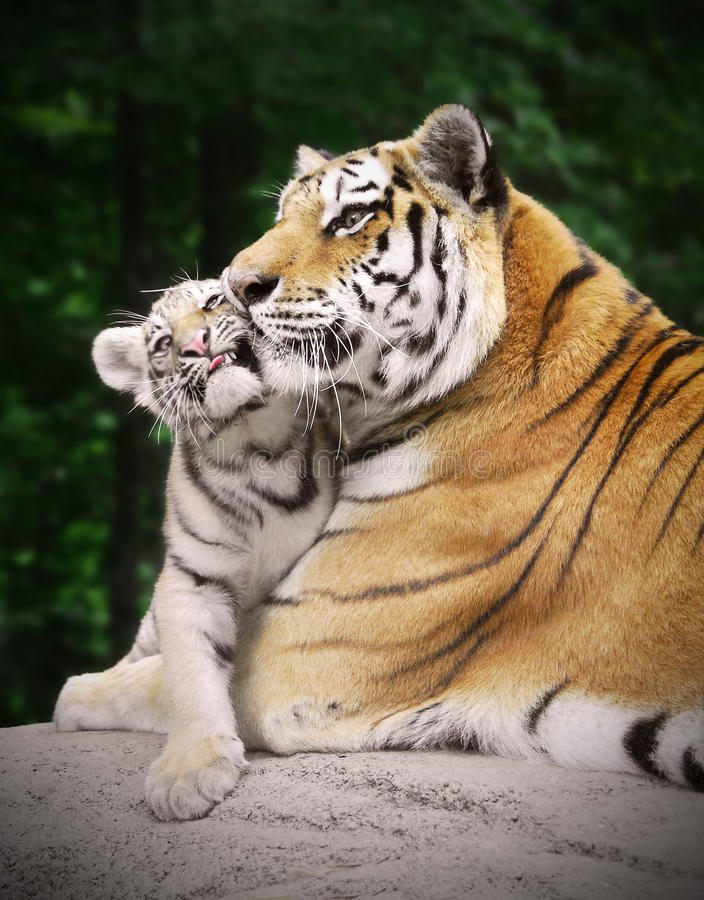Tigre con un cub fotografie stock libere da diritti