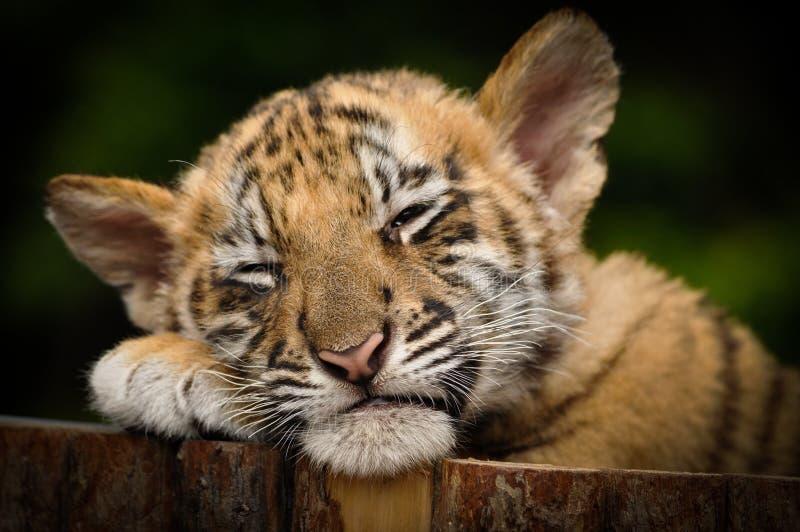 Tigre Cub sibérien (altaica de tigris de Panthera) image stock