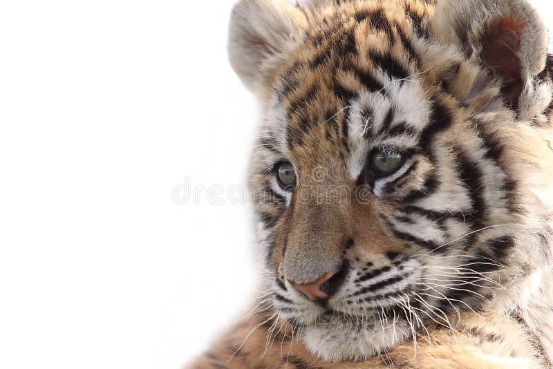 Tigre Cub siberiano imágenes de archivo libres de regalías