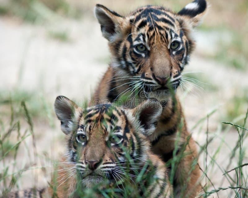 Tigre Cubs immagine stock