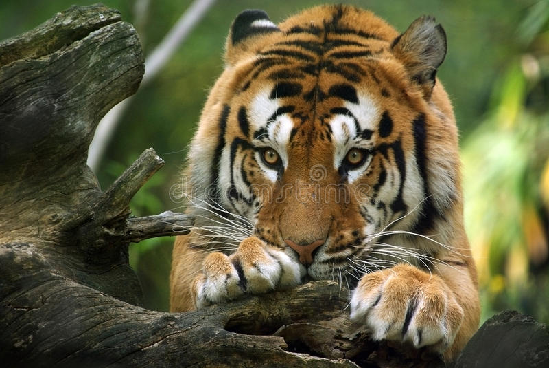 Tigre dócil imagem de stock royalty free