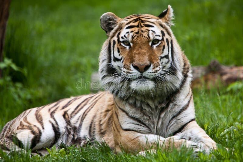 Tigre d'Amur photographie stock