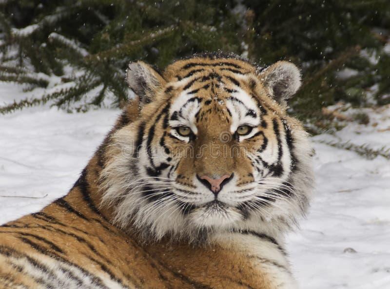 Tigre d'Amur images libres de droits