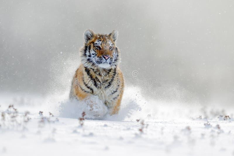 Tigre d'Amur fonctionnant dans la neige Tigre en nature sauvage d'hiver Scène de faune d'action avec l'animal de danger Hiver fro images stock