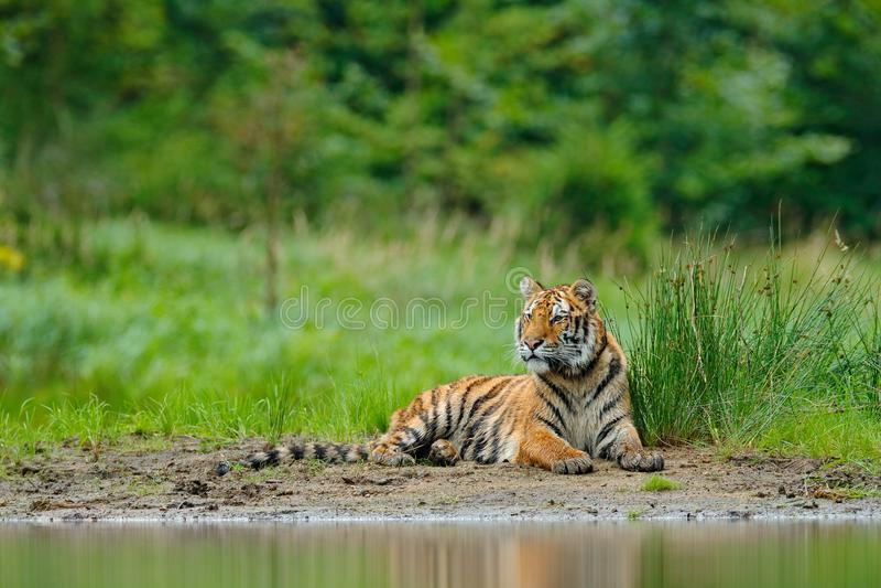Tigre d'Amur se trouvant près de l'eau de lac Animal de danger, tajga, Russie Animal dans le courant vert de forêt Grey Stone, go image stock