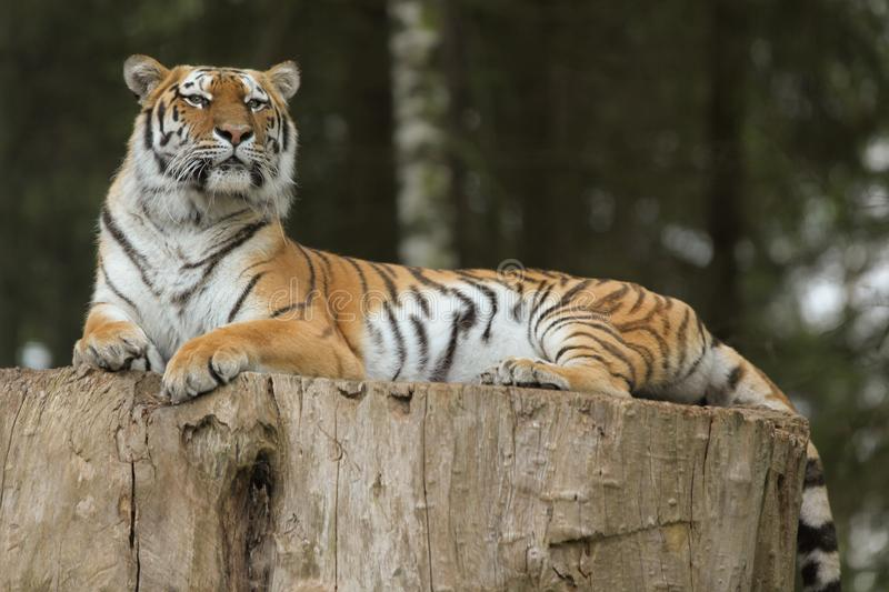 Tigre d'Inde images stock