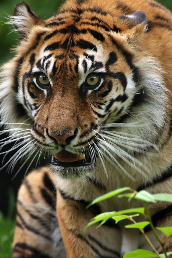 Tigre D Inseguimento Fotografie Stock