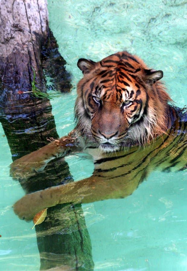 Tigre da água foto de stock royalty free