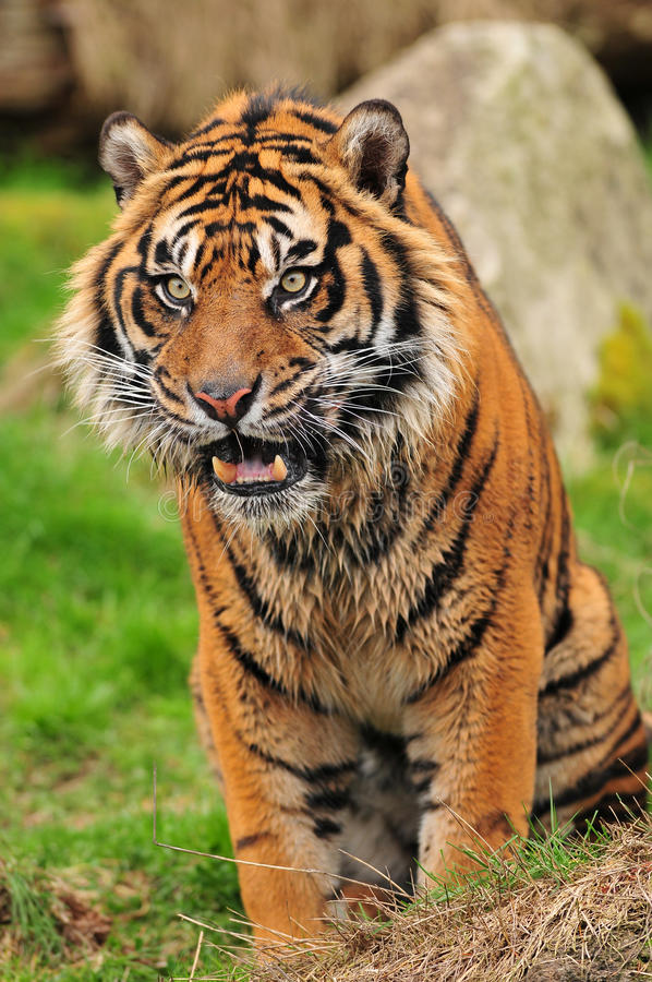 Tigre da rosnadura foto de stock royalty free