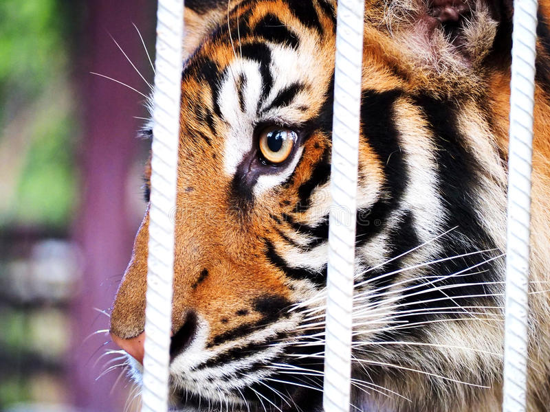 Tigre dans la cage photo stock