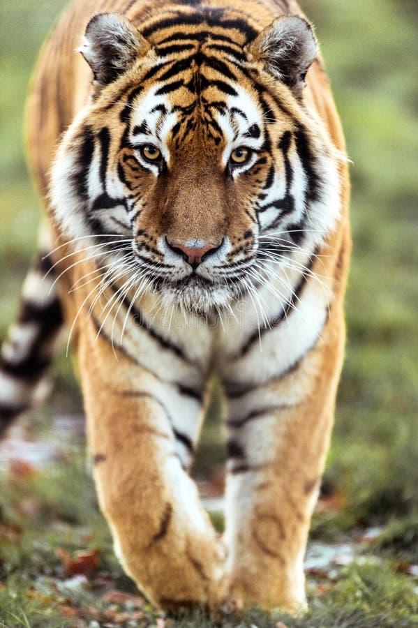 Tigre De Acecho Fotografía de archivo