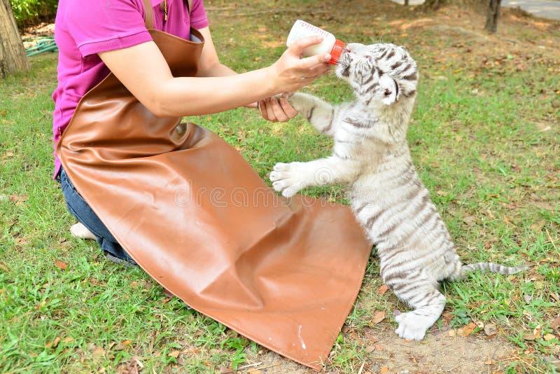 Tigre de alimentação do branco do bebê do Zookeeper imagem de stock