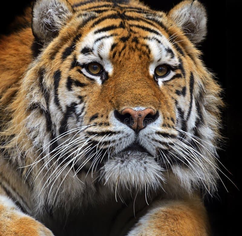 Tigre de Amur imagem de stock