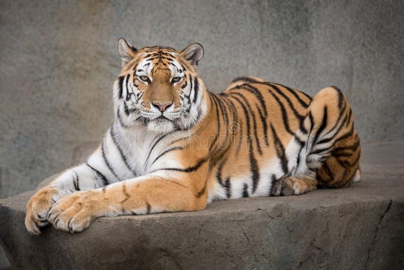 Tigre de Amur imagens de stock royalty free