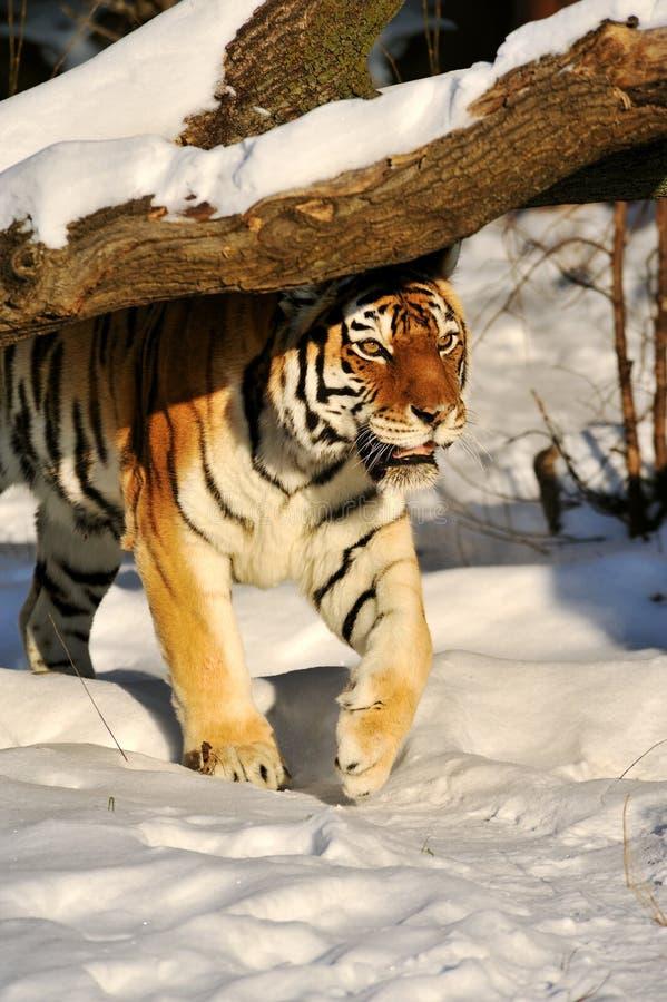 Tigre de Amur na neve foto de stock